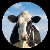 chronopature vache